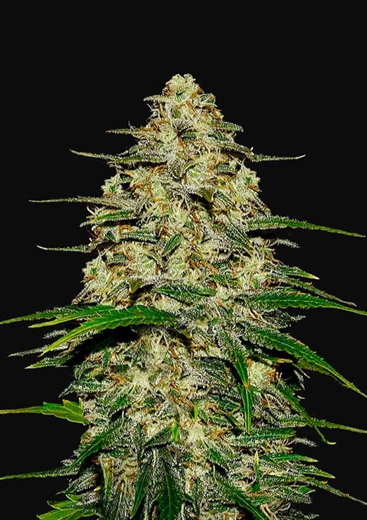 Wedding Cheesecake Auto Feminised Seeds From Fastbuds Seeds