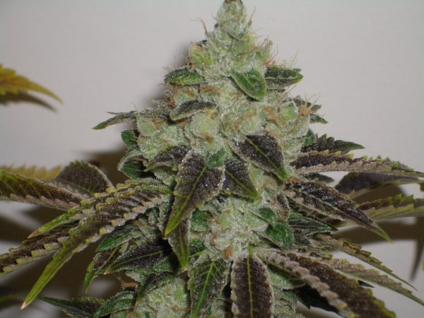 Cannabist South Africa Jet Fuel Seeds