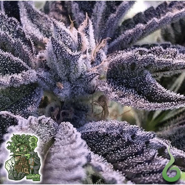 Cannabist Seeds Frosted Apricot Bud